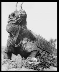 """Afbeelding 2: """"Dinosaurus"""" (varaan met prothetische hoorns) uit de film """"The Lost World"""" (1960)"""